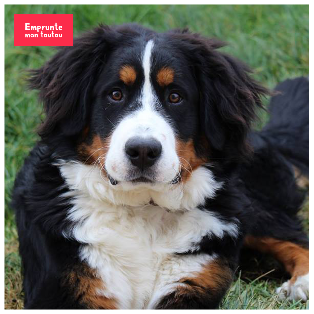 Combien coûte un chien bernois?