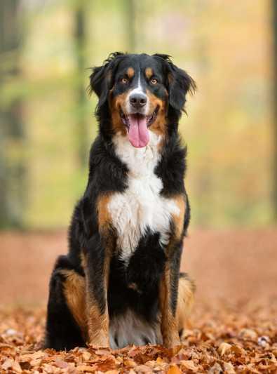 Où trouver un chien de montagne bernois?