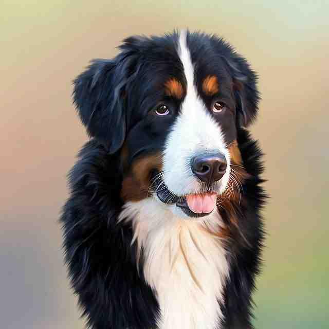 Comment éduquer un chien bouvier