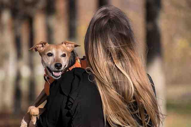 Pourquoi porter un harnais pour chien?