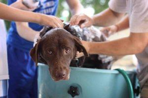 Comment laver son chien sans shampoing