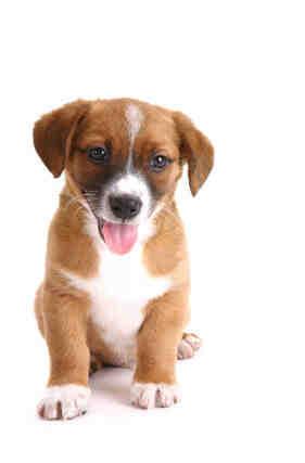 Quel sont les race de chien qui reste petit ?